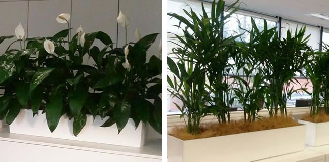 peace lilly and bamboo palm
