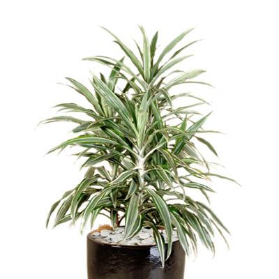 Indoor Plant Hire Office Plant Rentals Tropical Plant