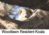 woodlawn koala