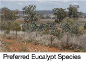 preferred eucalypt seedling